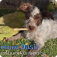 Adopt A Pet :: Rainbow Dash - Rosamond, CA