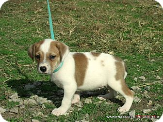 Bulldog/Beagle Mix Puppy for adoption in PRINCETON, Kentucky - CLAIRE/ADOPTED