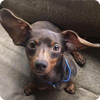Adopt A Pet :: Benjamin - Pearland, TX