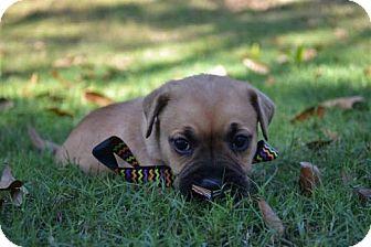Terrier (Unknown Type, Medium) Mix Puppy for adoption in Shelburne, Vermont - Caleb