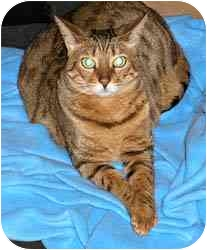 Bengal Cat for adoption in Redwood City, California - Ali