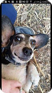 Beagle/Dachshund Mix Dog for adoption in Rosemount, Minnesota - Ruthie