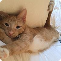 Adopt A Pet :: Dandy - Lombard, IL