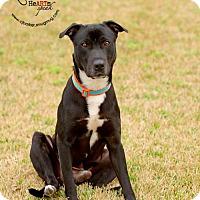 Adopt A Pet :: Gavin - Pearland, TX