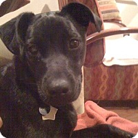 Adopt A Pet :: Juno - Groton, MA