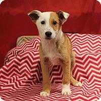 Adopt A Pet :: Gorgonzola - Los Angeles, CA