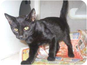 Domestic Shorthair Cat for adoption in Mobile, Alabama - Starlette
