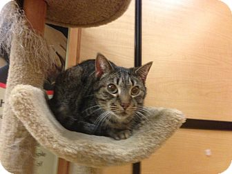 Domestic Shorthair Cat for adoption in Monroe, Georgia - Mr. Peppers