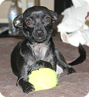 Bella Adopted Dog Bellflower Ca Chihuahua Italian Greyhound Mix