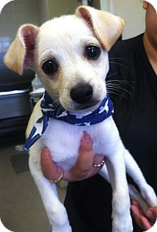 Chihuahua/Terrier (Unknown Type, Small) Mix Puppy for adoption in Phoenix, Arizona - Joey