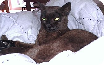 Burmese Cat for adoption in Palatine, Illinois - Rose