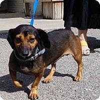 Adopt A Pet :: Dudley (Very Urgent) - Brattleboro, VT
