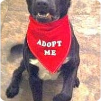 Adopt A Pet :: Batman - Justin, TX