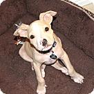 Adopt A Pet :: BamBoo- Pit/Beagle/Chi mix
