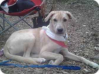 Labrador Retriever/Retriever (Unknown Type) Mix Dog for adoption in San Antonio, Texas - A309731  Abby