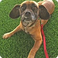 Adopt A Pet :: Harvey - Redondo Beach, CA