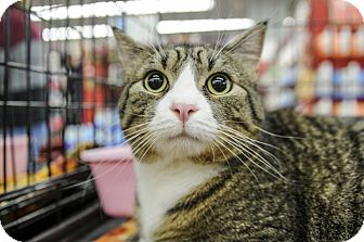 Domestic Shorthair Cat for adoption in Wayne, New Jersey - Jacobus