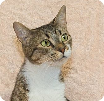 Domestic Shorthair Cat for adoption in Elmwood Park, New Jersey - Stella