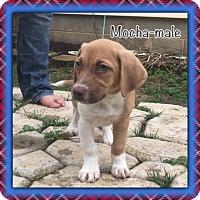 Adopt A Pet :: Mocha - Harmony, Glocester, RI
