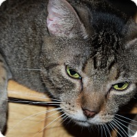 Domestic Shorthair Cat for adoption in Mesa, Arizona - Charlie