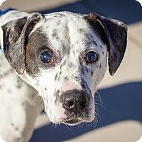 Adopt A Pet :: Simon - Berkeley, CA