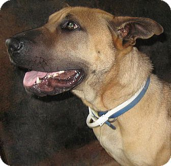 Mastiff Mix Dog for adoption in Tahlequah, Oklahoma - Mahan