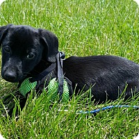 Adopt A Pet :: Midnight - Fairview Heights, IL
