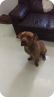 American Pit Bull Terrier Mix Dog for adoption in Mt. Gilead, Ohio - Mr. Big
