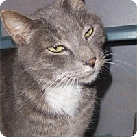 Domestic Shorthair Cat for adoption in Waupaca, Wisconsin - Jaspurr