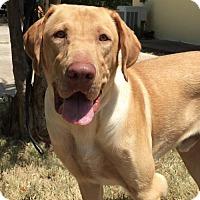 Adopt A Pet :: Dolan - Denton, TX