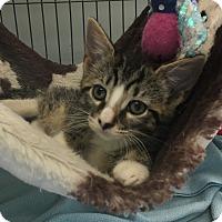 Domestic Shorthair Kitten for adoption in Wayne, New Jersey - Dory