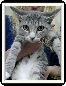 Domestic Shorthair Kitten for adoption in Trevose, Pennsylvania - Tilly