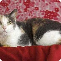 Calico Cat for adoption in South Bend, Indiana - Guinevere