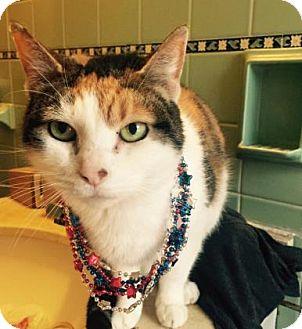 Domestic Shorthair Cat for adoption in Cheltenham, Pennsylvania - Marcy