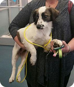 Australian Shepherd/Catahoula Leopard Dog Mix Dog for adoption in Dallas, Texas - Rosemary
