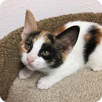 Domestic Shorthair Kitten for adoption in Pleasant Hill, California - Emme