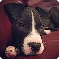 Adopt A Pet :: Allie - Dayton, OH