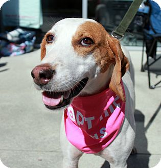 Hound (Unknown Type) Mix Dog for adoption in Youngsville, North Carolina - Reba McIntyre - Sponsored - Reduced Fee