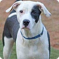 Dalmatian/Pointer Mix Dog for adoption in Tallahassee, Florida - MAXX