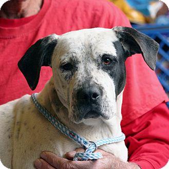 American Bulldog Mix Puppy for adoption in Palmdale, California - Octavia