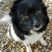 Adopt A Pet :: Shelly - Monrovia, CA