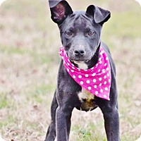Adopt A Pet :: piper meet me 1/20 - Manchester, CT