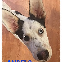 Adopt A Pet :: Angelo - Tempe, AZ