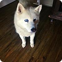 Adopt A Pet :: Arctic - McKinney, TX