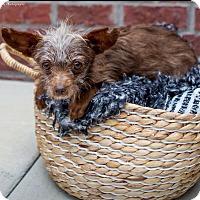 Adopt A Pet :: Moose - Jacksonville, NC