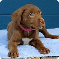 Adopt A Pet :: Lyla - Waldorf, MD