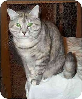 Domestic Shorthair Cat for adoption in Chapman Mills, Ottawa, Ontario - TATIANA