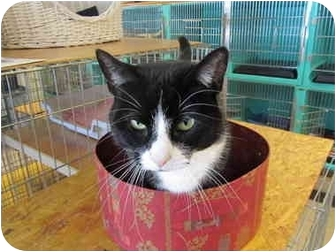 Domestic Shorthair Cat for adoption in Pascoag, Rhode Island - Mitzi
