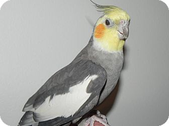 Cockatiel for adoption in St. Louis, Missouri - Jules
