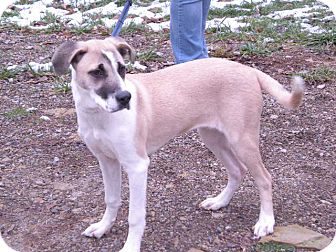 "Shepherd (Unknown Type) Mix Dog for adoption in New Castle, Pennsylvania - "" Sasha """